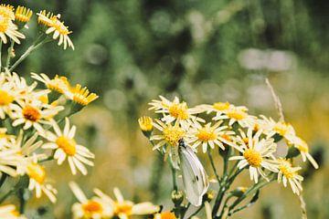 Schmetterling auf Gänseblümchen von Ilse Hoen