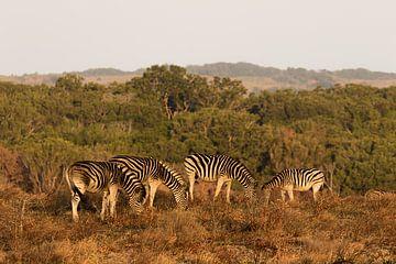 Zebras bei Sonnenuntergang Südafrika von John Stijnman