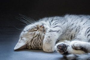 Schwarz Silber Tabby kätzchen liegt schläfrig und faul