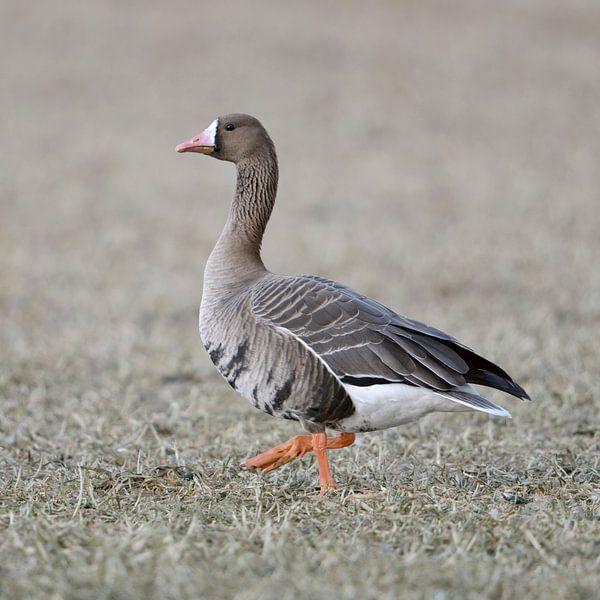 Waddling walk... White-fronted Goose * Anser albifrons * van wunderbare Erde