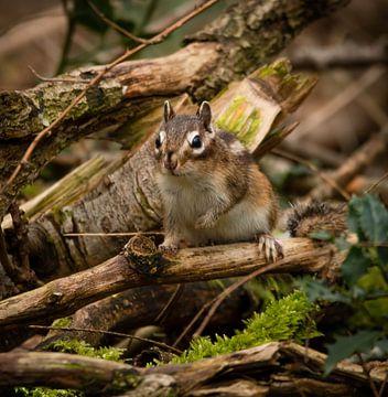 Erdhörnchen im Wald von Marjolein van Middelkoop