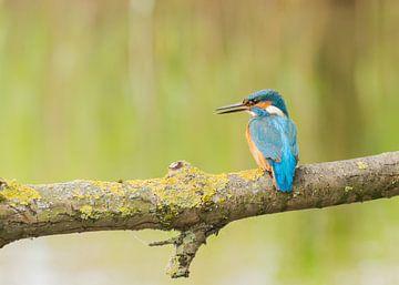 Ijsvogel /Common Kingfisher van Anna Stelloo