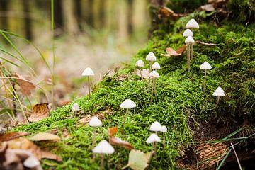 Verzameling kleine paddestoelen op boomstam.  van Fotografiecor .nl