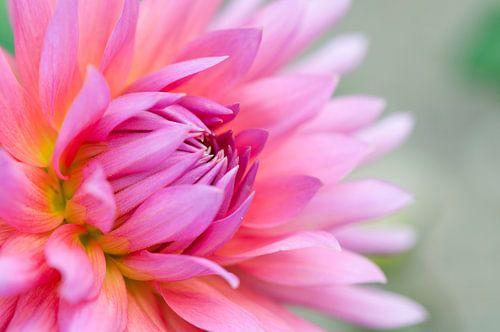 Roze dahlia