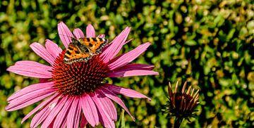 Vlinder  van Stef De Vos