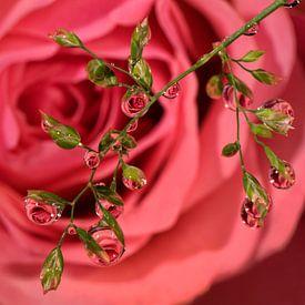Roos waterdruppels. van Vincent Willems