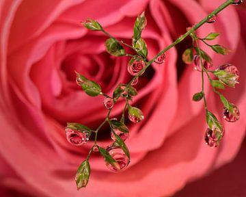 Rose Wassertropfen. von Vincent Willems