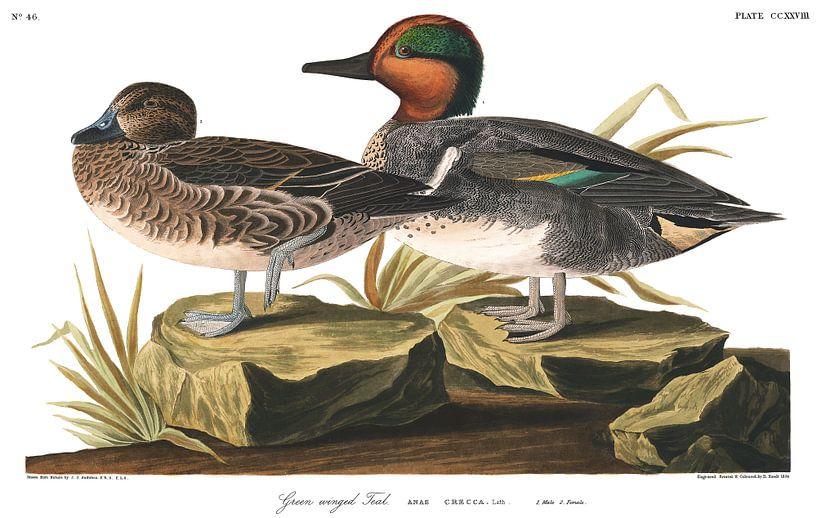 Amerikaanse Wintertaling van Birds of America