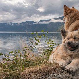 IJslandse hond Noorwegen van Astrid Ingrid Wevers