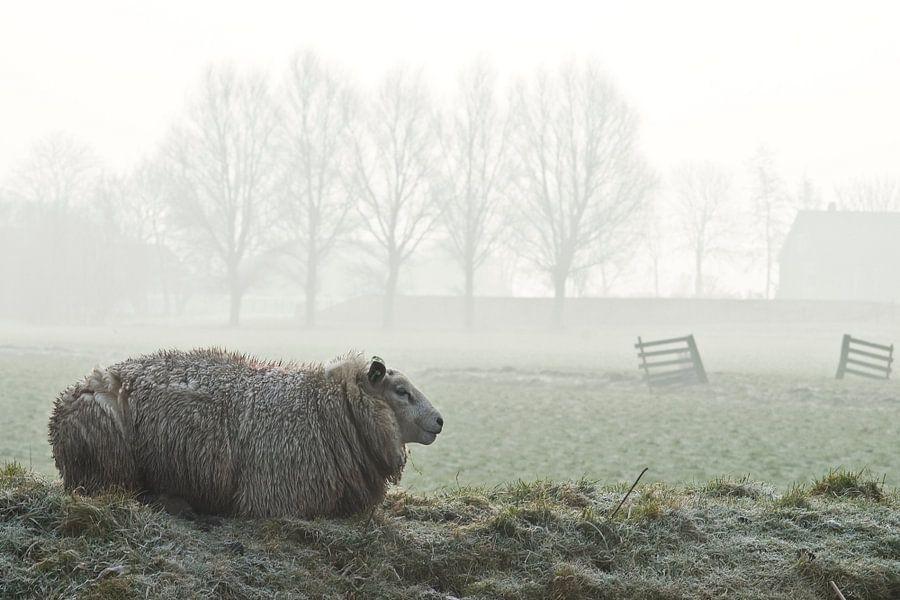 sheep  van Dirk van Egmond