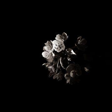Low Key lila rosa Blume Orchidee schwarzen Hintergrund von Lucia Leemans