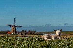 Texel - l'agneau profite du Nord au moulin