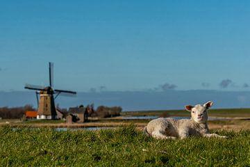 Texel - lammetje geniet bij  de Molen het Noorden van Texel360Fotografie Richard Heerschap