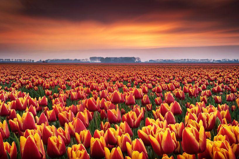 Tulpenvelden tijdens zonsondergang van Martin Podt