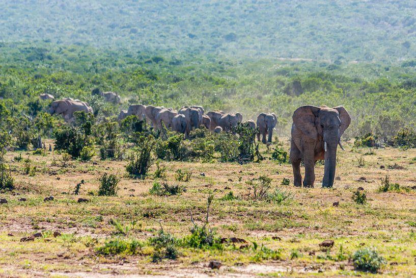 Olifantenkudde in Addo Elephant National Park von Koen Henderickx