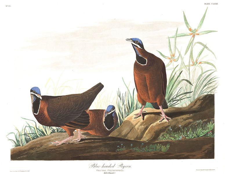 Blauwkopduif van Birds of America