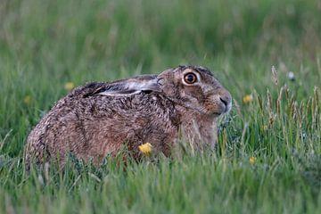 Feldhase ( Lepus europaeus ) hockt im Gras einer Frühlingswiese von wunderbare Erde