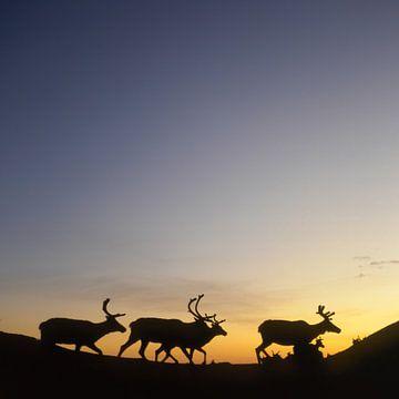 Reindeer at Midnight van Benno Neeleman