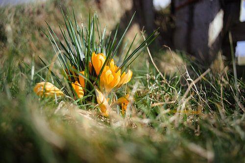 Voorjaarslicht op gele krokussen in een grasland van Fotografiecor .nl