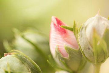 Hibiskusblüten von Dagmar Marina