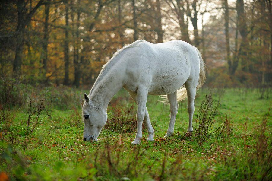 Grazend wit paard van Merijn van der Vliet