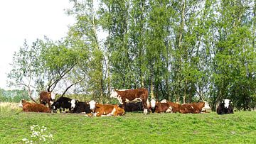 Vaches sur Tineke Visscher