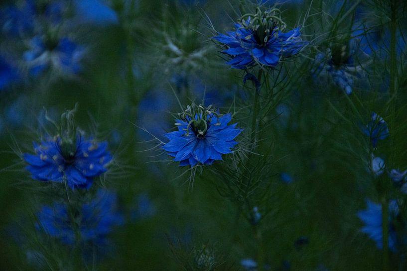 Fleurs bleues sur Simen Crombez