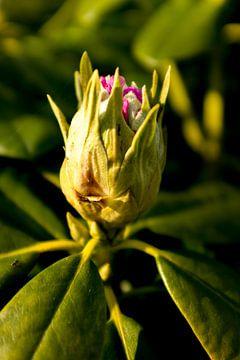 Plant in het voorjaar, botanische kunst van een rhododendron | fine art natuur fotografie van Karijn | Fine art Natuur en Reis Fotografie
