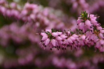 een mooie roze heide tak in bloei von tiny brok