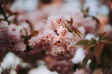 Lente Bloesem in Roze Bokeh van Coby Vriens