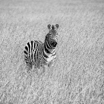 Zebra im hohen Gras von Angelika Stern
