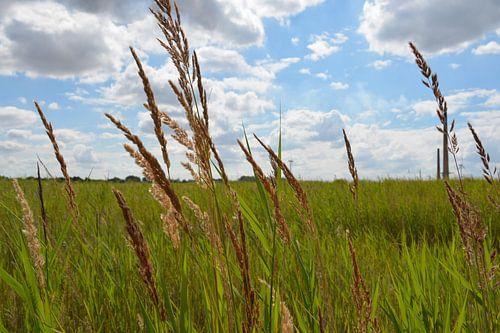 Graspluimen in Whittlesey (Engeland)