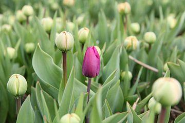 Frühe lila Tulpe von Carel van der Lippe