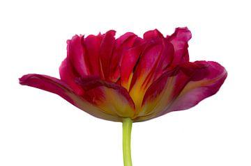 Tulp van Ida Muller
