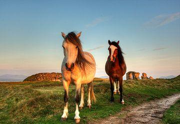wilde pony's  sur Dirk Vervoort