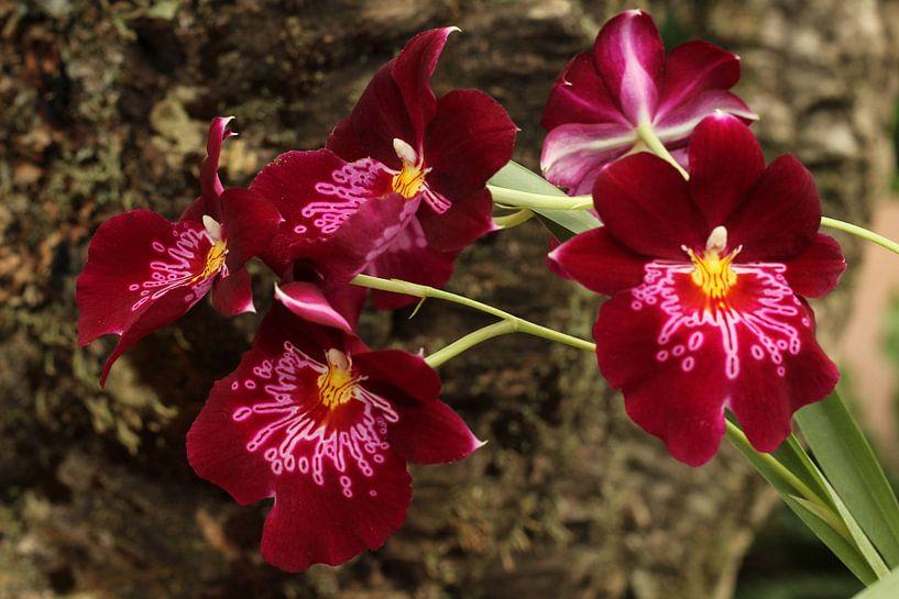 The Orchidees van Cornelis (Cees) Cornelissen
