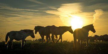 Konik-paarden bij zonsondergang van