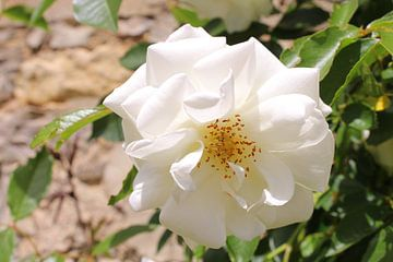 witte roos von Petra Van Hijfte