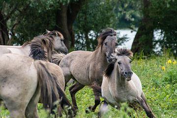 Rennende konikpaarden van Diantha Risiglione