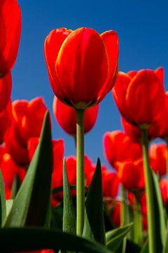Rode tulpen sur Menno Schaefer