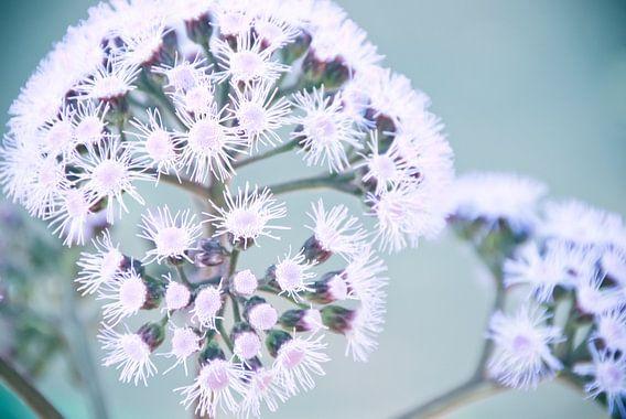 Purple Dotty bloem