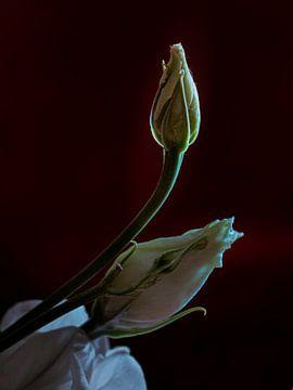 Roos in de knop van Arno Marx