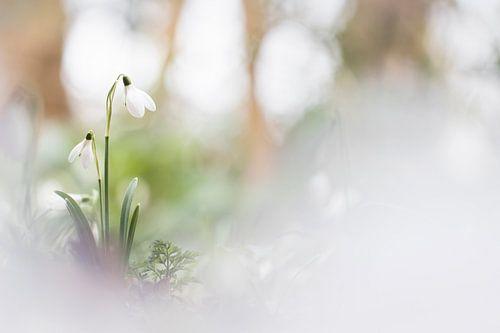 The beauteous snowdrops van Bob Daalder