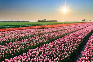 Roze tulpen tijdens zonsondergang van