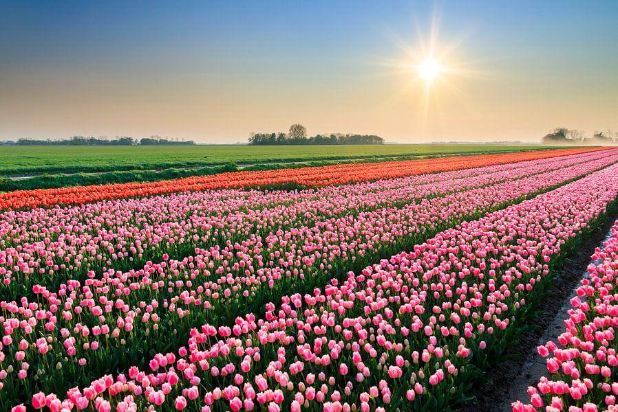 Roze tulpen tijdens zonsondergang van Dennis van de Water