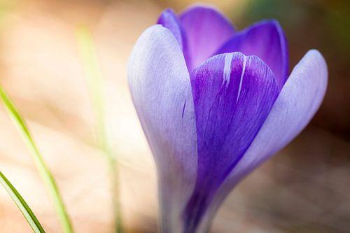 Zacht paarse macro foto van een krokus
