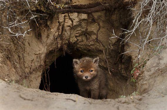 Nieuwsgierige jonge vos van Menno Schaefer