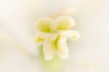 Frosty tulip van Margreet Frowijn