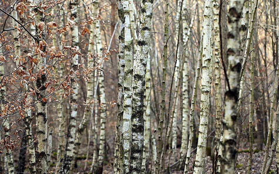 Birkenwald im Winter