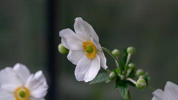 Eriocapitella hupehensis (Japanse anemoon) von Annemarie Arensen